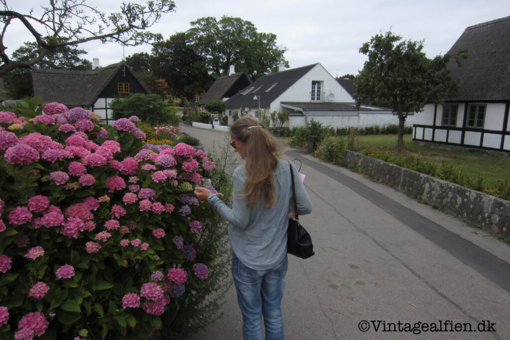 Hortensiaernes blomsterflor på Samsø