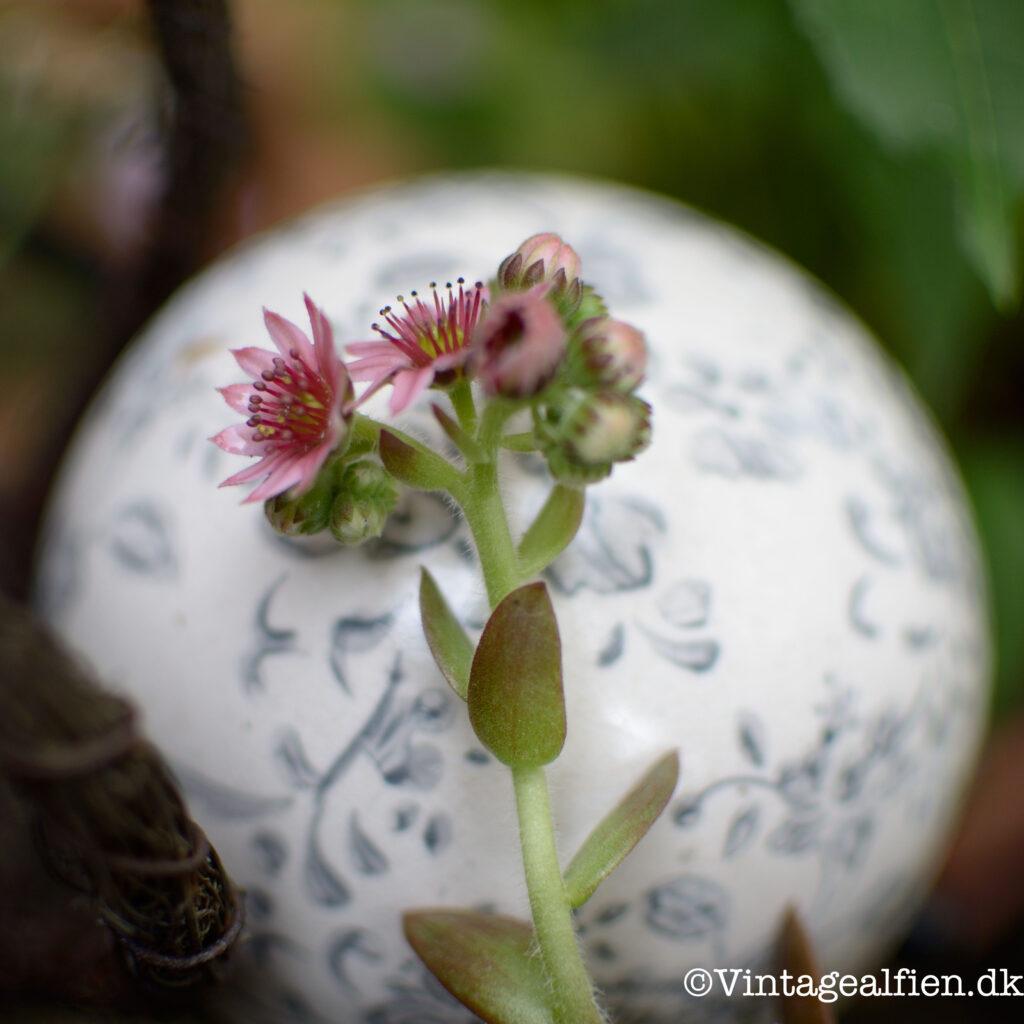 Blomst fra succulent