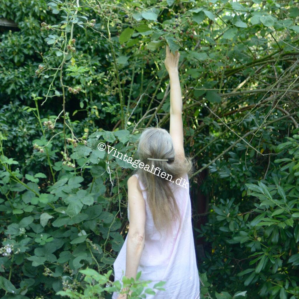 Alfien er i gang med brombærplukningen